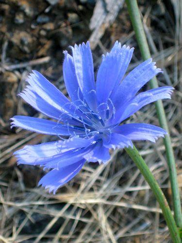 unknown blue wildflower