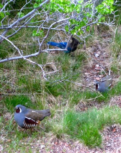 stellar jay and mt. quail