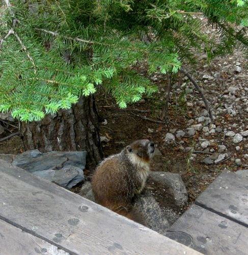 blind marmot