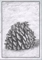 Small pinecone