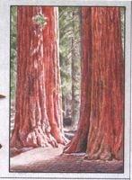Small sequoias