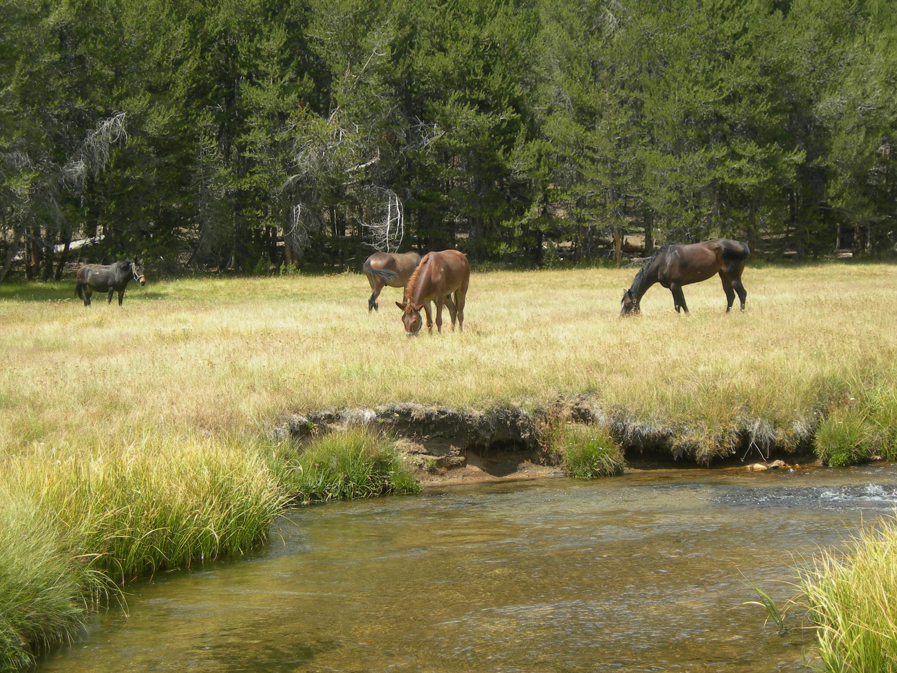 mules in a meadow by water